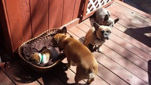 Raylee checking in on Louis on a weekend trip to the cabin. Photo courtesy of Blue AZ Frenchie